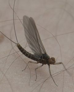 Image of a Mayfly