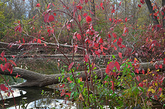 Image of a forest pond in the fall with bright tree colors.
