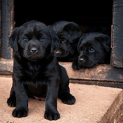 Image of a black lab puppy outside a dog house with two more puppies inside.
