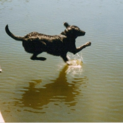 Image of Willy leaping off a dock to chase a thrown dummy.