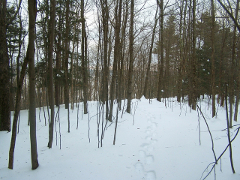 Image of deep snow in the woods with snowshoe tracks.
