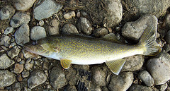 Picture of a walleye pike laying on rocks.