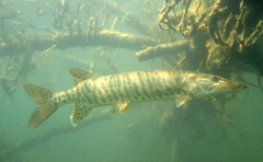 A Muskie viewed under the water.