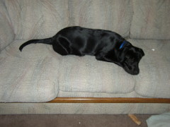 Picture showing Velvet taking up about half the couch.