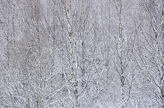 Image of a birch tree forest in the winter with snow.