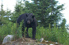 A picture of large black bear