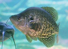 Image of crappie swimming in the water.