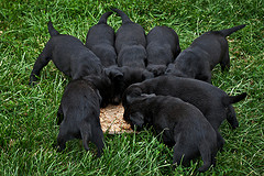 Image of black lab puppies eating from a big dish in the grass.