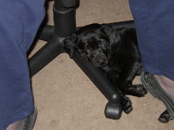 Velvet sleeping with her head on the foot of Marg's chair.