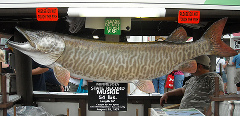 56 Inch, 55 Pound MN State Record Muskie