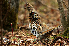 An image of a ruffed grouse.