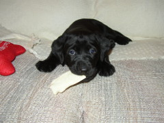 Velvet is chewing a small piece of rawhide.