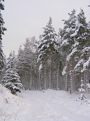 Image of a forest in winter with snow and fir trees.