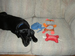 Velvet on the couch with her toys Blueberry, Squeaky Bone, and Tiger